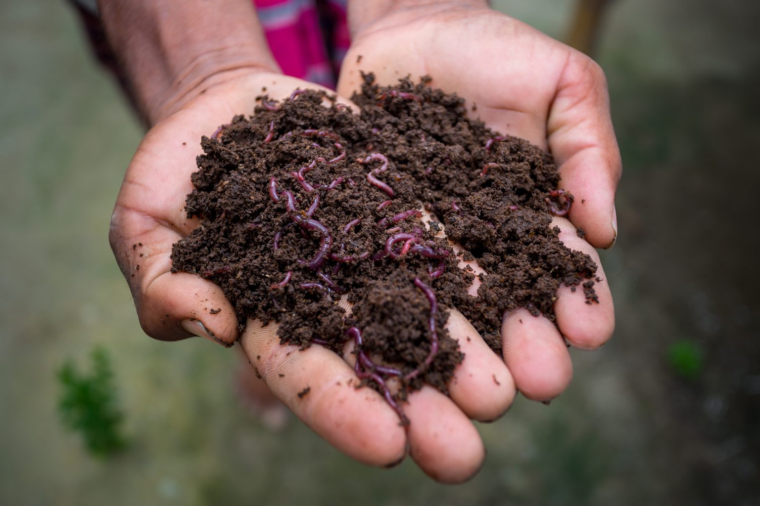 Hand,Holding,Compost,With,Redworms.,A,Farmer,Showing,The,Worms